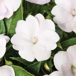 Edellieschen, weiß, im ca. 12 cm-Topf