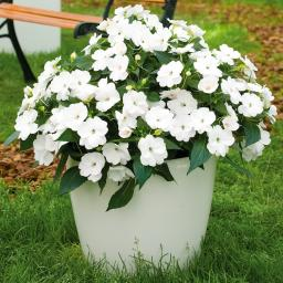 Fleißiges-Lieschen Sunpation White
