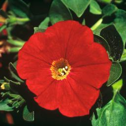 Rote Riesenhängepetunie Alpetunia Red