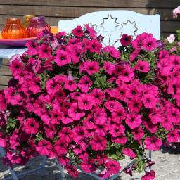 Pinke Riesenhängepetunie AlpeTunia® Dark Purple, im ca. 12 cm-Topf