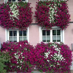 Sommerblumen-Sortiment Riesen-Petunien, pink-weiß, 6 Stück