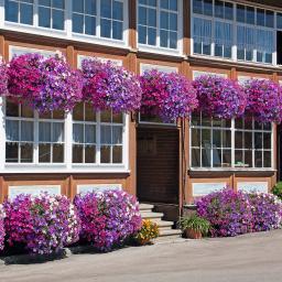 Sommerblumen-Sortiment Bunte Riesen-Petunien, 6 Stück