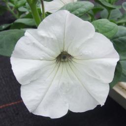Weiße Riesenhängepetunie AlpeTunia® White, im ca. 12 cm-Topf