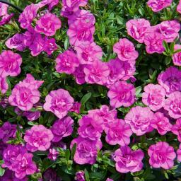 Pinkes Rosen-Zauberglöckchen Minifamous Double Pinkmania