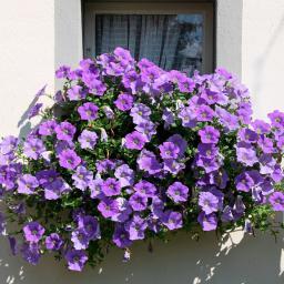 Blaue Riesenhängepetunie AlpeTunia® Light Blue, im ca. 12 cm-Topf
