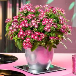 Popstar-Sommerphlox Disco Rose With Eye