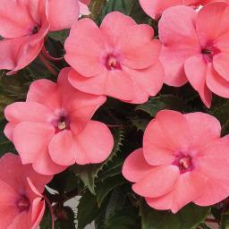 Rosa Fleißiges-Lieschen Sunpation Salomon