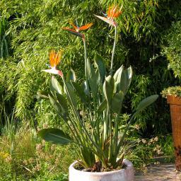 Paradiesvogelblume Strelizie, im ca. 15 cm-Topf