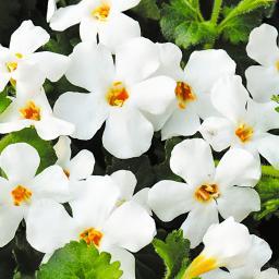 Weiße Schneeflockenblume