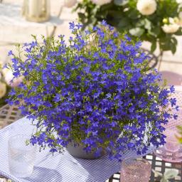 Blaues Männertreu, im ca. 11 cm-Topf