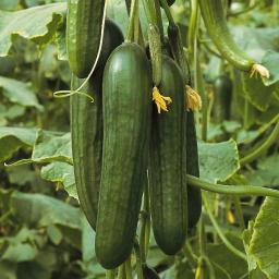 Mini-Jungpflanze Gurke Passandra F1