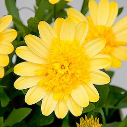 Gelbes Kapkörbchen 3D Yellow