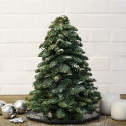 Nobilis- Weihnachtsbäumchen, mittel