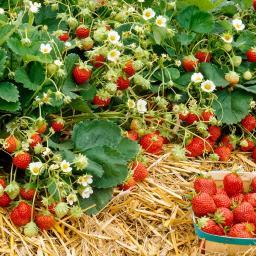 Erdbeerpflanze Erdbeer-Naschwiese, getopft, im ca. 9 cm-Topf