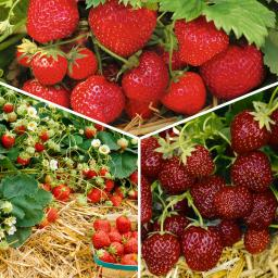 Sortiment Erdbeer-Auslese, im ca. 9 cm-Topf