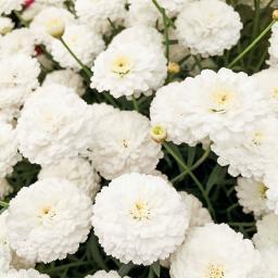 Weiße gefüllte Edelweiß-Margerite