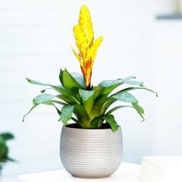 Gelbe Vriesea, im ca. 12 cm-Topf