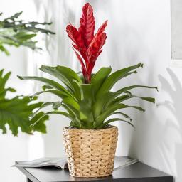 Rote Vriesea, im ca. 12 cm-Topf