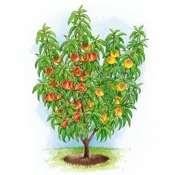 Duo-Obstsalatbaum® Nektapfi