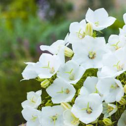 Riesen-Glockenblume Alba, im ca. 9 cm-Topf