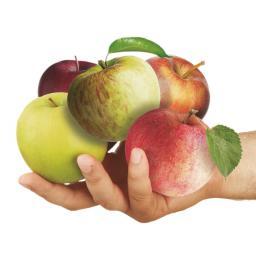 Premium Familien-Apfelbaum, im ca. 27 cm-Topf