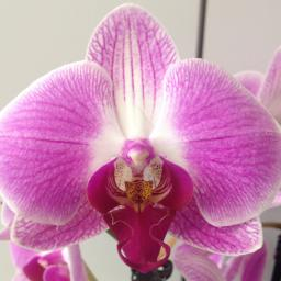 Schmetterlings-Orchidee Daytrip, im ca. 12 cm-Topf