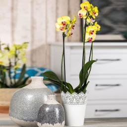 Gelbe Schmetterlings-Orchidee, im ca. 12 cm-Topf
