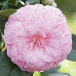 Rosa Kamelie, im ca. 15 cm-Topf