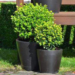 Ilex Golden Gem