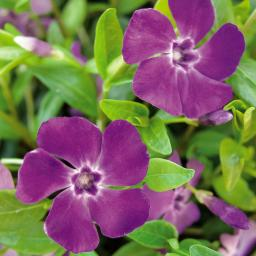 Immergrün, violett, im ca. 9 cm-Topf