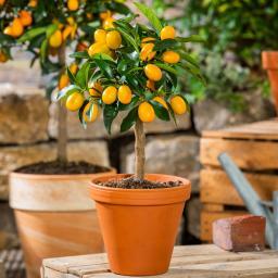 Calamondin-Orange Stämmchen, klein