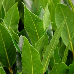 Zimmerpflanze Lorbeer