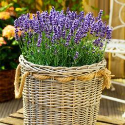 Eataliano Solitär-Lavendel, im ca. 25 cm-Topf