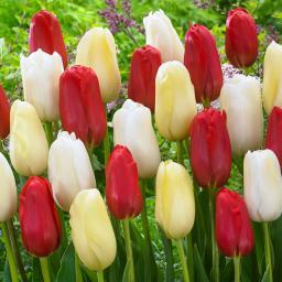 Tulpen-Mischung Riesen-Tulpen