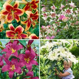Blumenzwiebel-Sortiment Baumlilien