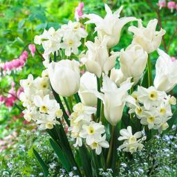 Blumenzwiebel-Mischung Weißer Frühling