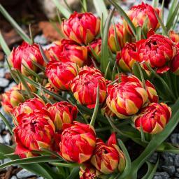 Tulpe Samantha