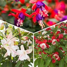 Sommerblumen-Sortiment Feen-Fuchsien Fairy®