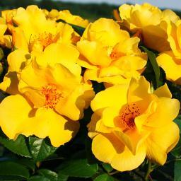 Bodendeckerrose Lemon Fizz NektarGarten®, im ca. 23 cm-Topf