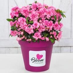 Marathon-Azalee Bloomchampion Pink, im ca. 19 cm-Topf
