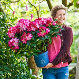 Rhododendron, rosa-weiß, im ca. 19 cm-Topf