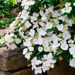 Girlanden-Hortensie Runaway Bride ® Snow White, im 2-Liter-Topf