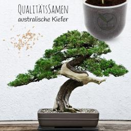 Bonsai Starter Kit Australischen Kiefer Grow2Go