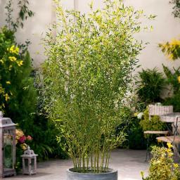 Bambus Bissetii, im 5-Liter-Topf