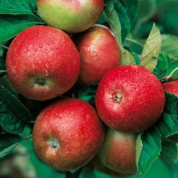 Zwerg-Apfel Zwergenstar®