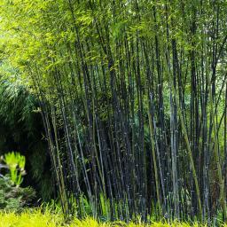 Schwarzer Bambus, im ca. 28 cm-Topf