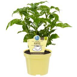 Blu Bio Echte Kaffeepflanze