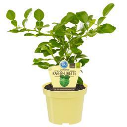 BIO Zitruspflanze Kaffir-Limette, im ca. 12 cm-Topf