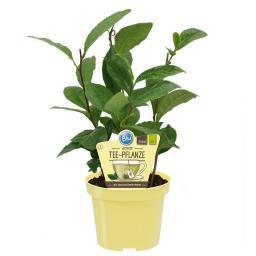 BIO Kräuterpflanze Echte Tee-Pflanze, im ca. 12 cm-Topf