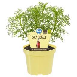Blu Bio-Kräuterpflanze Cola-Kraut